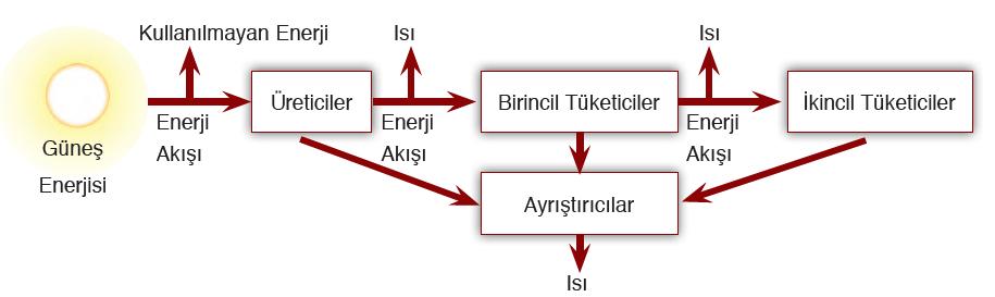 Şema 1.6 Ekosistemdeki enerji akışı