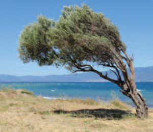 Fotoğraf 1.195 Ağaçlar bazen hâkim rüzgâr yönüne göre şekil almaktadır.