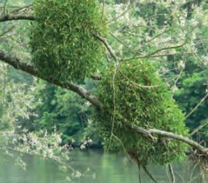 Fotoğraf 1.198 Ökse otu bazı bitkilerin üzerinde parazit olarak yaşamaktadır.