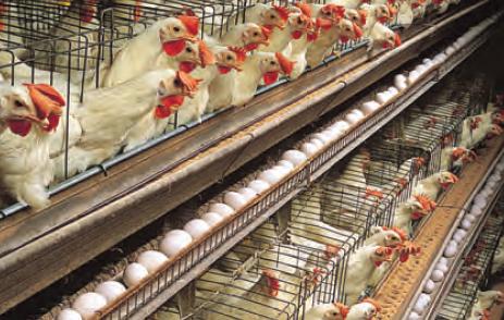 Fotoğraf 2.108 Türkiye'de kümes hayvancılığı alanında daha çok tavuk beslenir.