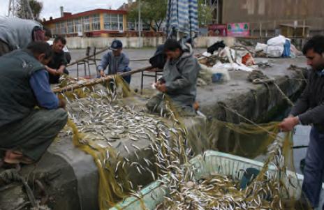 Fotoğraf 2.109 Türkiye'de en çok avlanan balık hamsidir.