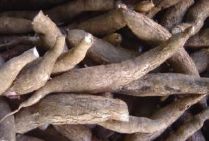 Fotoğraf 3.18 Manyok, Afrika yerlilerinin önemli bir besin maddesidir.
