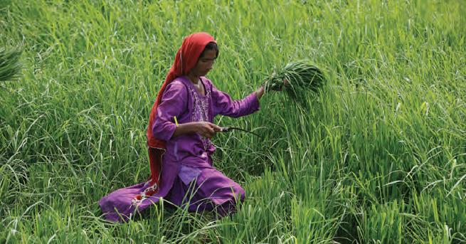 Fotoğraf 3.62 Pakistan'da tarım, daha çok geleneksel yöntemlerle yapılır.