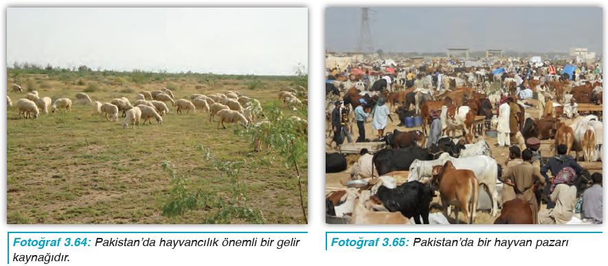 Fotoğraf 3.64 Pakistan'da hayvancılık önemli bir gelir kaynağıdır. - Fotoğraf 3.65 Pakistan'da bir hayvan pazarı